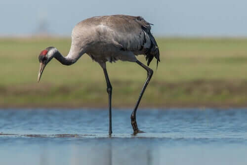 The Common Crane: Characteristics, Behavior, and Habitat