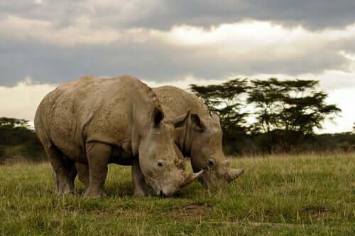 Two rhinos in a field.