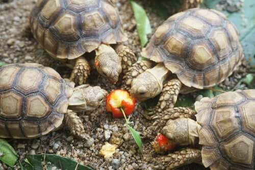 A group of turtles eating an apple.