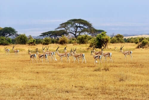A picture of antelope migration.