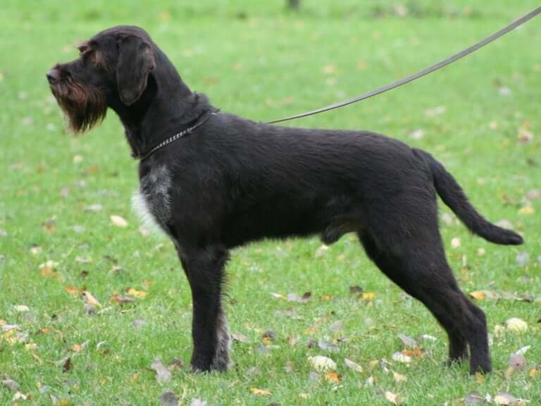 Bohemian Wirehaired Pointing Griffons