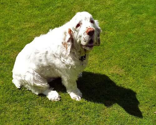 A clumber spaniel sitting.