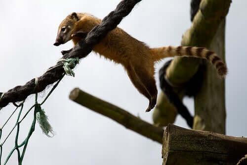 A coati jumping.