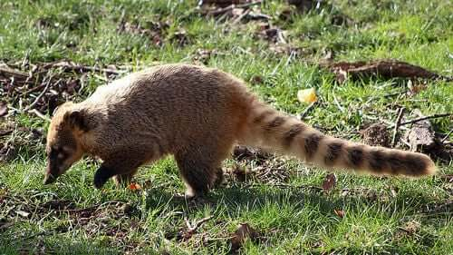 The Coati: Characteristics, Behavior and Habitat