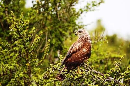 Meet the Common Buzzard: Characteristics, Behavior and Habitat