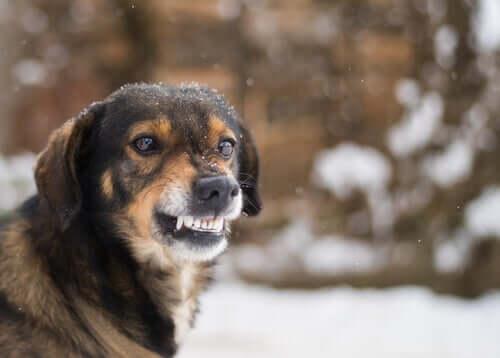 A dog snarling.