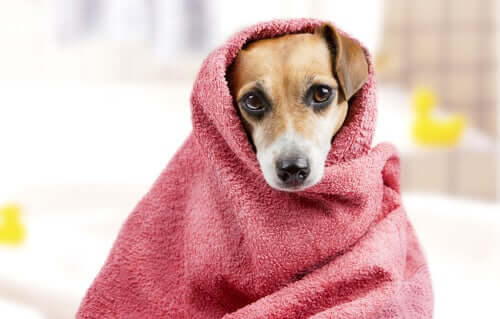 A dog wrapped in a towel.