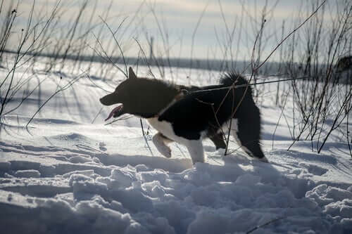 East Siberian Laika in the snow.