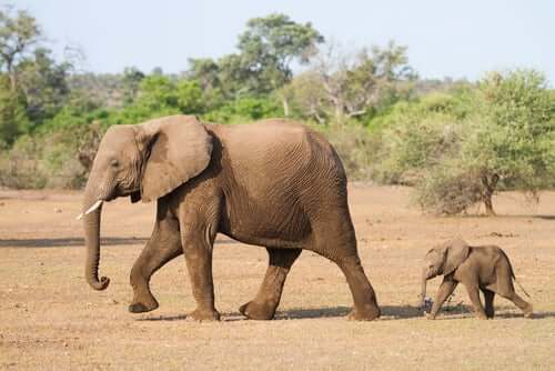 A mother elephant and her calf.