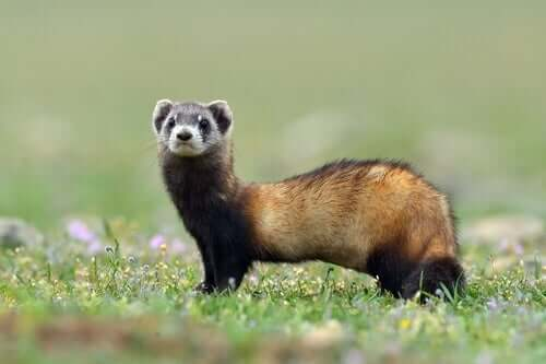 A ferret in a field.