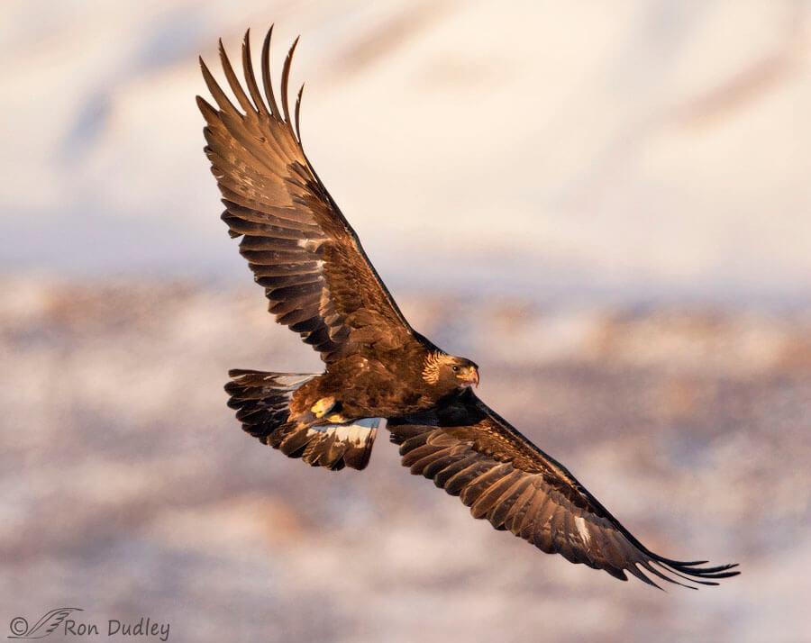 A flying golden eagle.