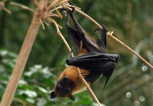Are Bats Dangerous for Humans or Not?