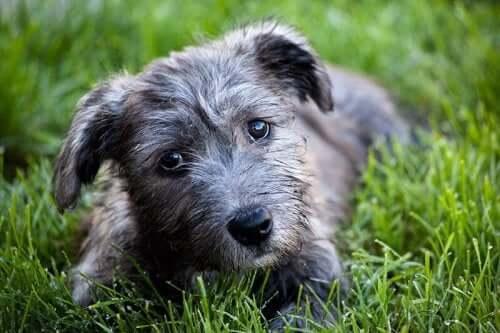 A Wicklow Terrier.