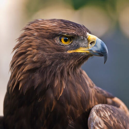 A Golden Eagle's close-up photograph.