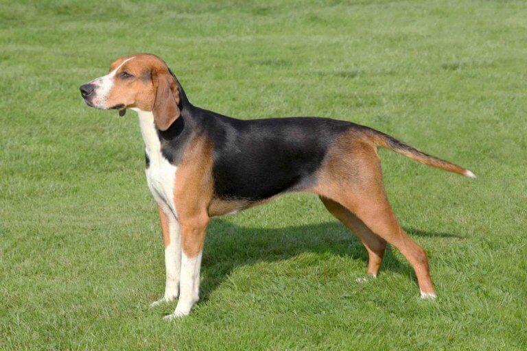 The Hamilton Hound: A Swedish Hunting Dog