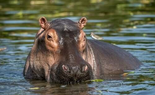 A hippo in water.