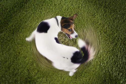 A dog chasing its tail.
