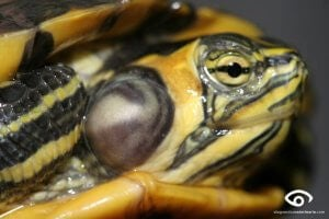 A turtle with an ear infection.