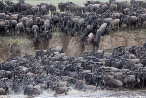 Amazing Mass Migrations in the Serengeti National Park