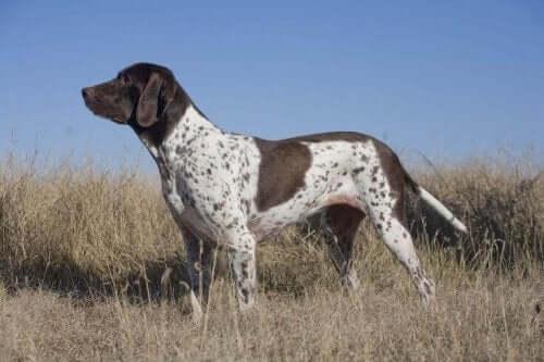 Meet the Old Danish Pointer Dog