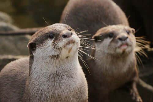 The Characteristics, Behavior, and Habitat of the Otter