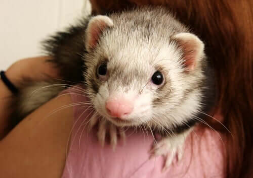 A ferret on a woman's shoulder.