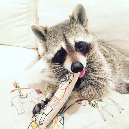 A pet raccoon playing with a toy.