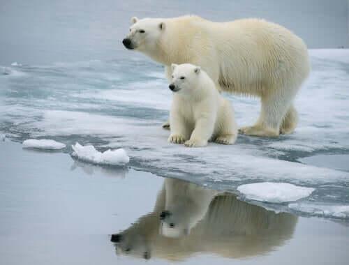 A polar bear with her cub.