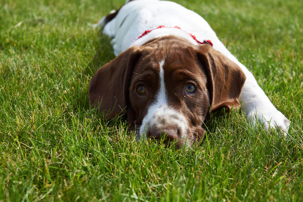A Danish pointer puppy resting on the grass.