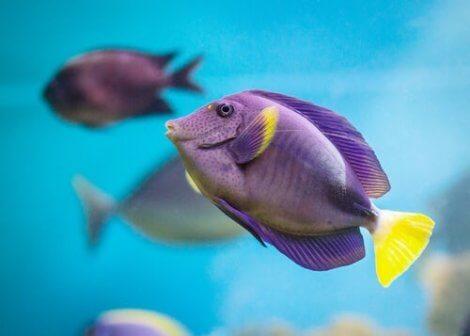 A purple angel fish.
