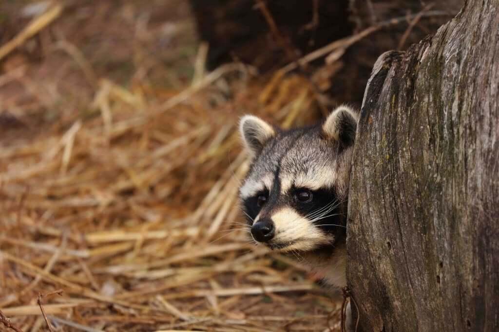 The Raccoon: Characteristics, Behavior, and Habitat
