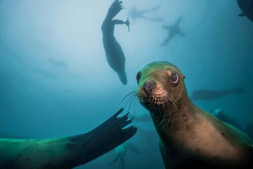 Sea Lions: Characteristics, Behavior and Habitat