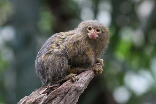 Titi Monkeys: Characteristics, Behavior and Habitat