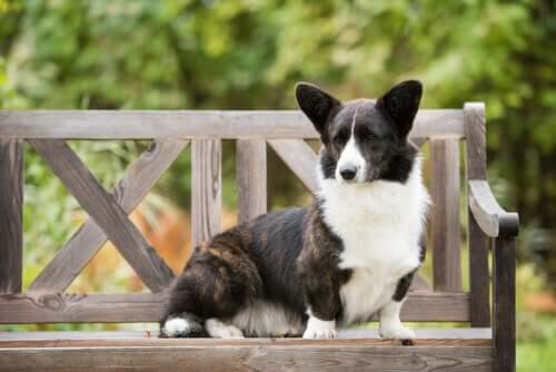 The coloring of the Cardigan Welsh Corgi.