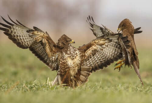 Two fighting common buzzards.