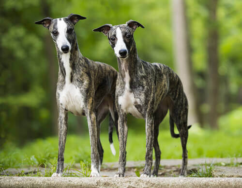 A pair of whippets.