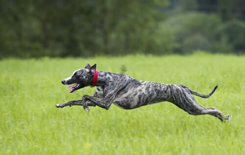 A dog running through the grass.