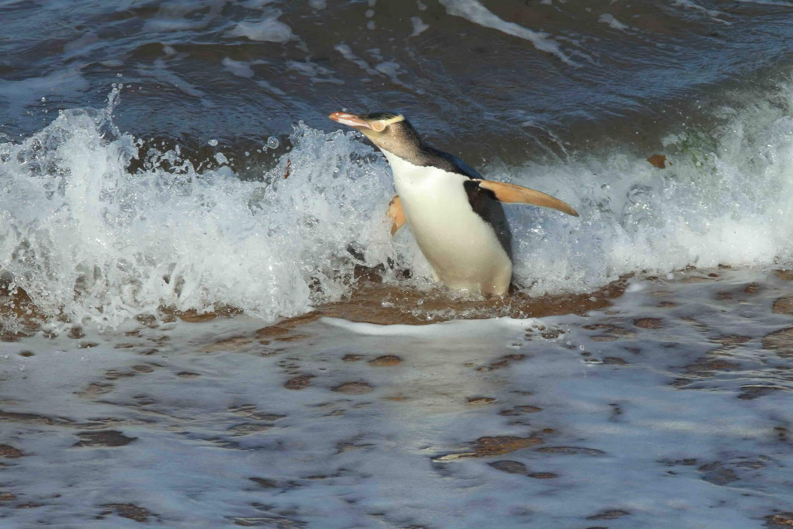 The yellow-eyed penguin is endangered.