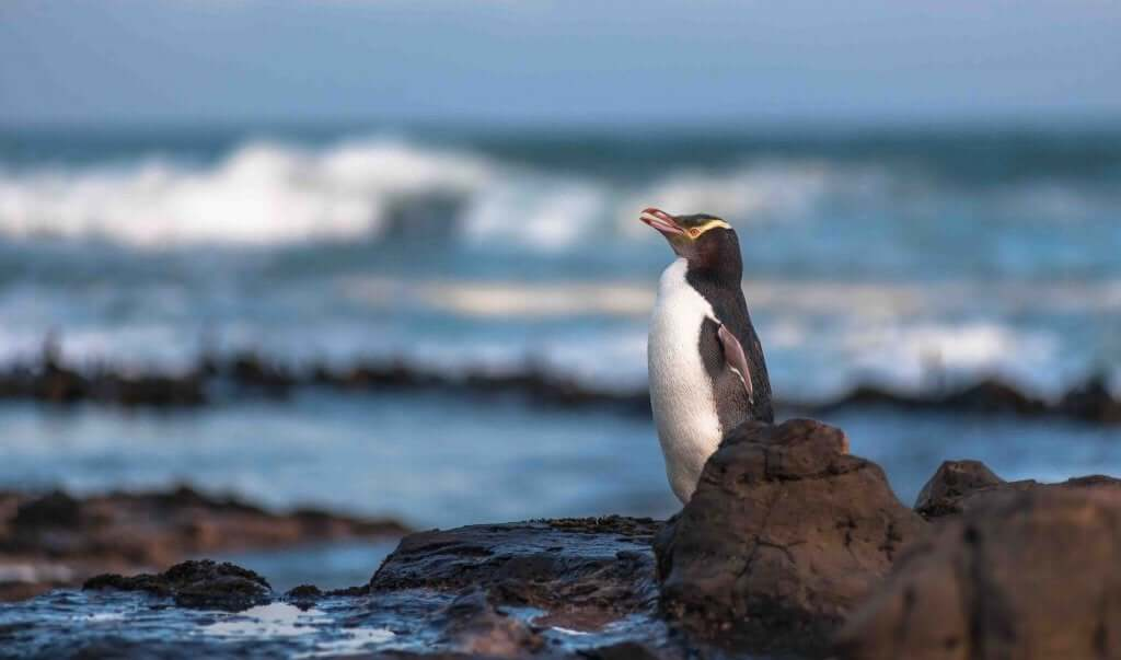 The Yellow-Eyed Penguin Is in Danger of Extinction