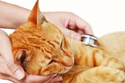 A cat being checked before receiving cat vaccines.