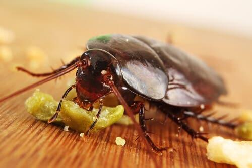 A cockroach eating some food.