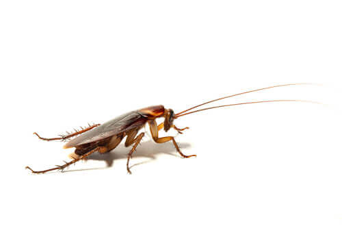 One of the most common cockroaches.