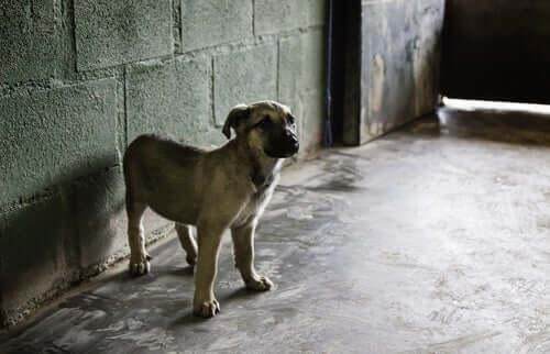 A mastiff in a barn.