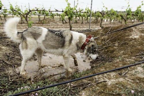 A mastiff in a vineyard.