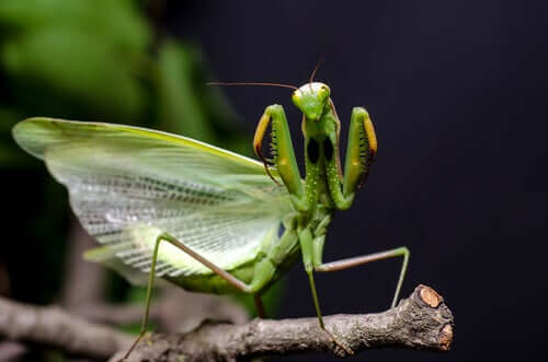 A praying mantis on a branch.