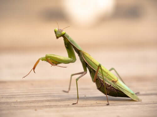 A mantis, considered one of the most religious animals because of its praying pose.