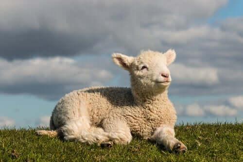 A small sheep after sheep shearing.