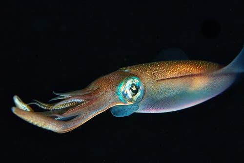 A squid.
