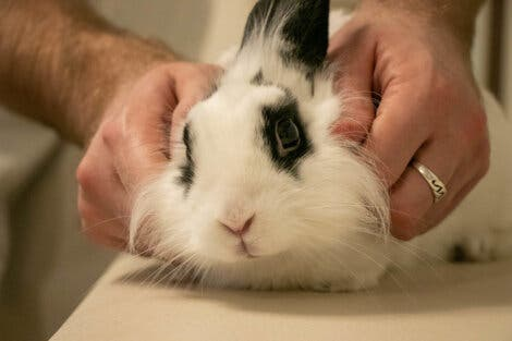 A vet checking for vestibular disease in rabbits.