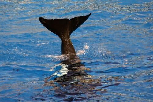 A whale's tail sticking out of the water.